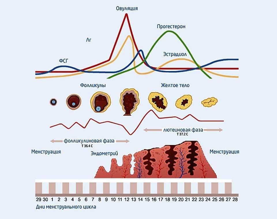 Уровни гормонов в разные дни менструального цикла