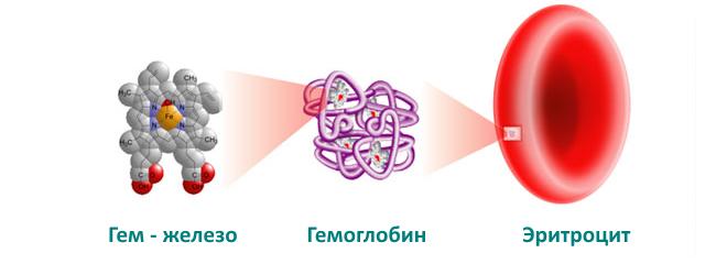 Гемоглобин в клетке крови