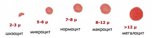Градация эритроцитов по размеру