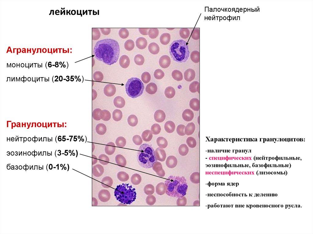 Норма лейкоцитов у детей и взрослых: таблица